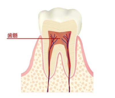 歯髄.png
